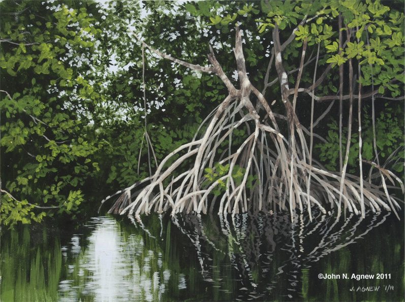 797x596 Red Mangrove Saplings In The Northern Bahamas Mangrove Ecosystem