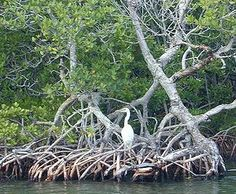 236x194 An Extensive Network Of Prop Roots Supports This Red Mangrove Tree