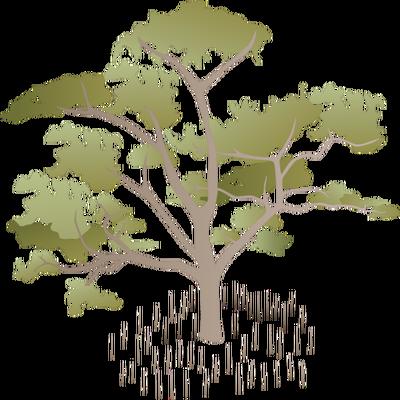400x400 Sonneratia Alba (Mangrove Apple) Illustration Of Sonneratia Alba
