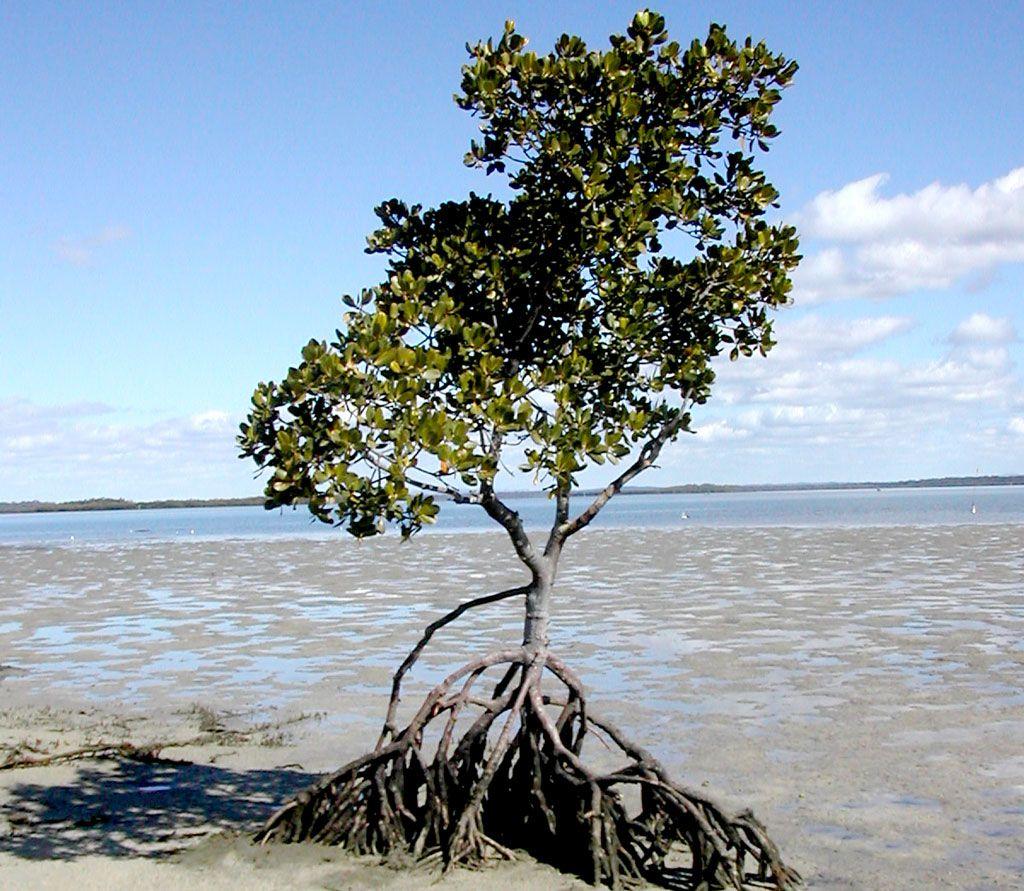 1024x891 Mangrove Tree Png