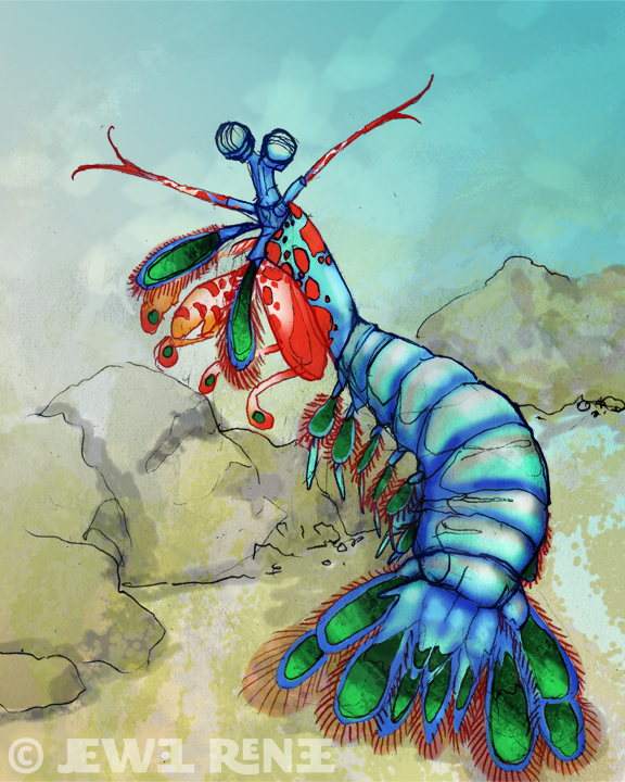 576x720 Jewel Renee Illustration Peacock Mantis Shrimp Illustration Color