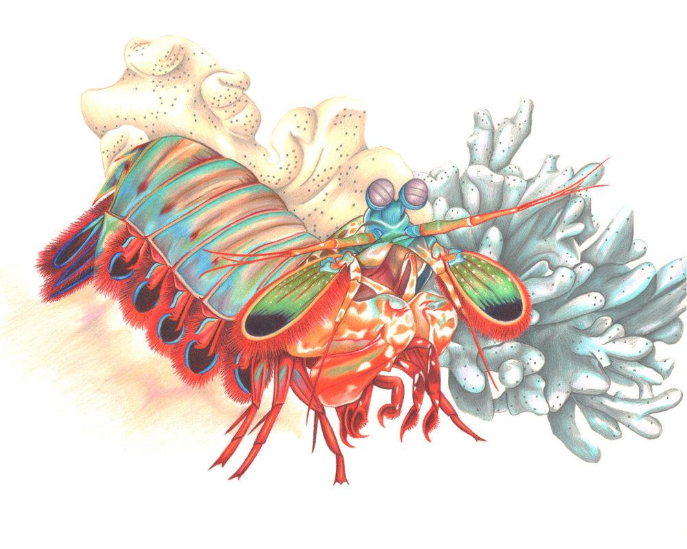1000x800 Mantis Shrimp Print