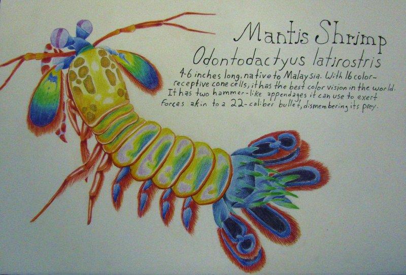 800x542 Peacock Mantis Shrimp By Allison Beriyani