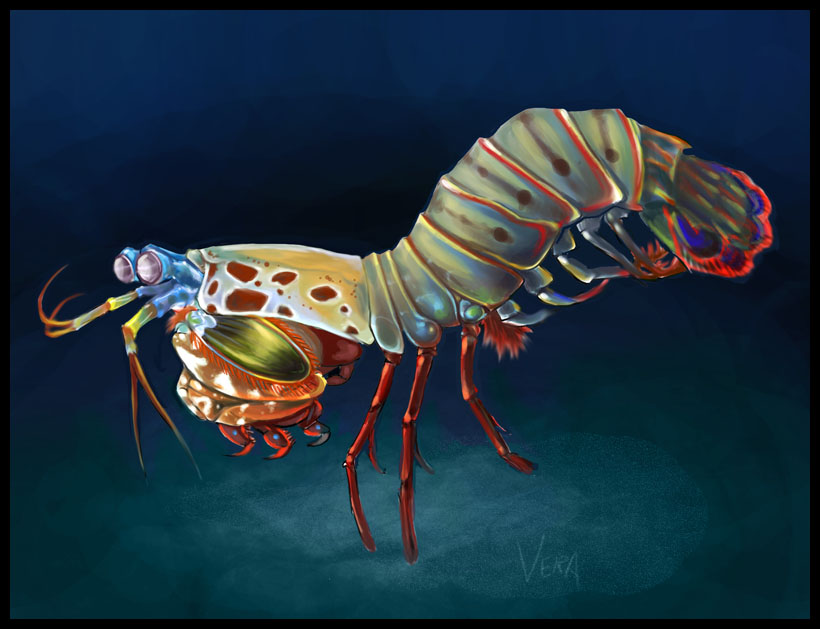 820x629 Mantis Shrimp By Blattaphile