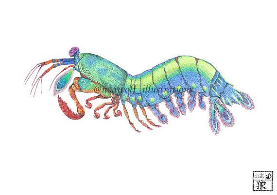 570x403 Mantis Shrimp Print Mantis Shrimp Art Mantis Shrimp Design