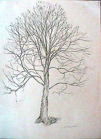 342x468 Maple Tree Seeds Drawing Images Amp Pictures