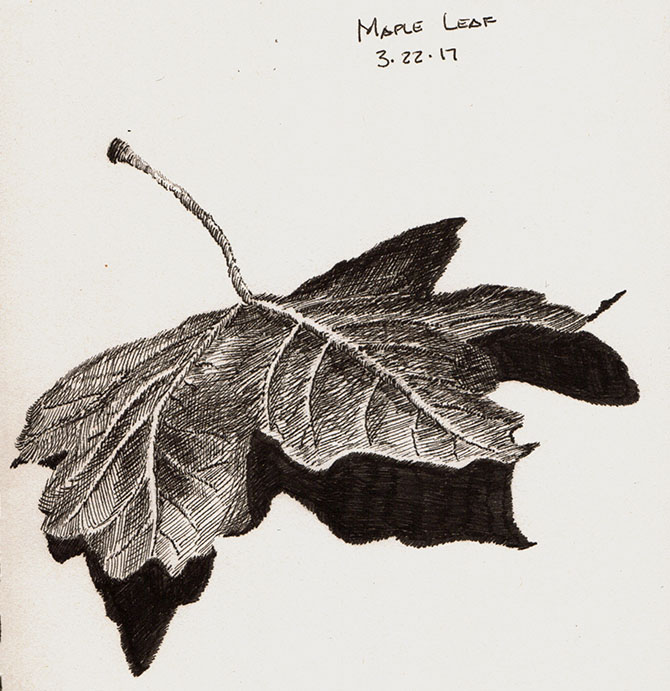 670x691 Pen And Ink Drawing Maple Leaf Study Creative Pursuits
