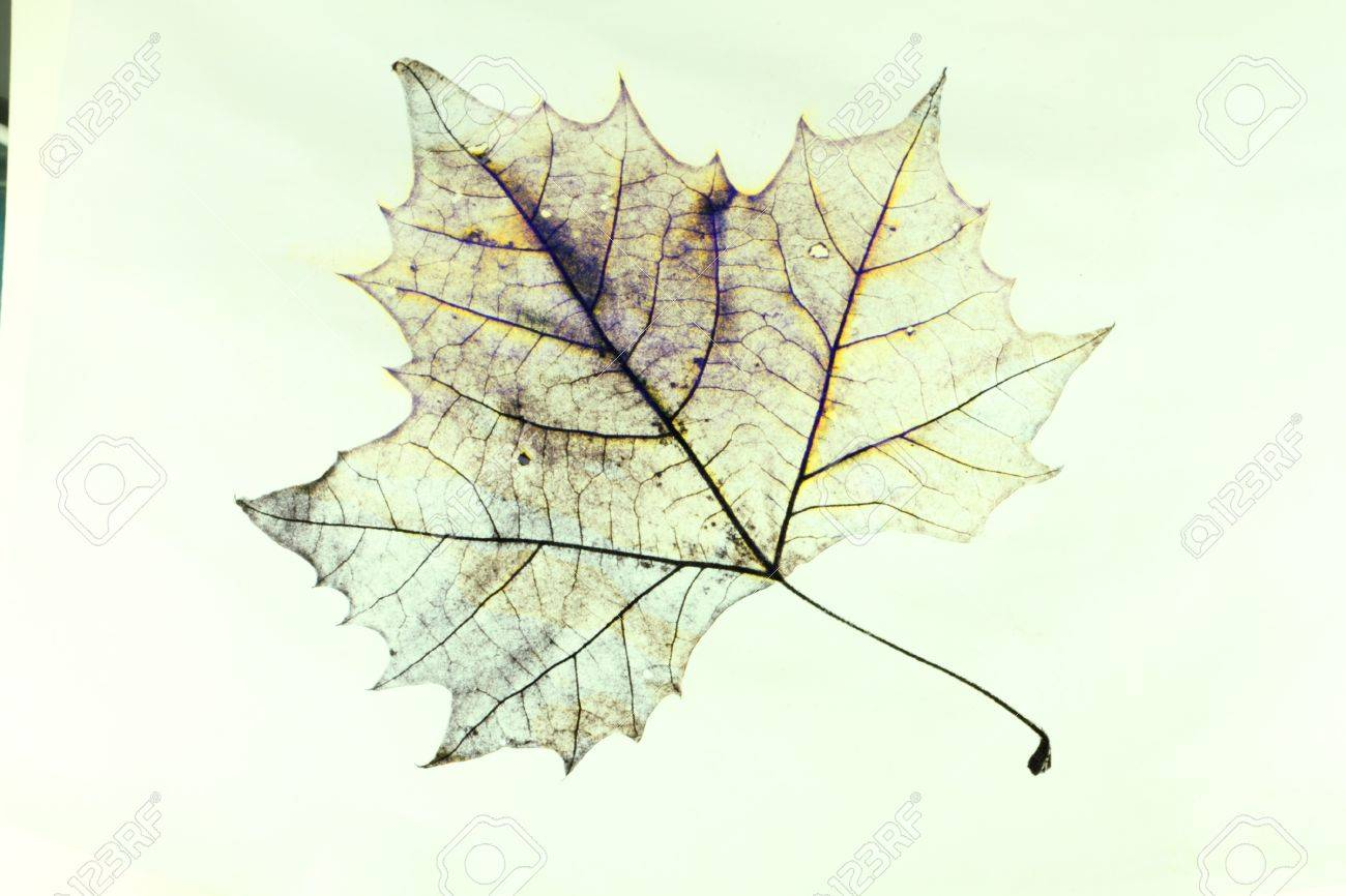 1300x866 Photo Of The Drawing Of A Transparent Maple Leaf In False Color