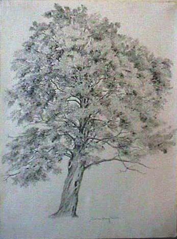 347x468 Maple Tree Drawing