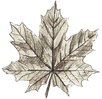 350x337 How To Draw Maple Leaves
