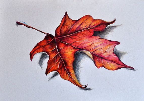 570x399 Original Colored Pencil Drawing, Red Maple Leaf, Botanical Drawing