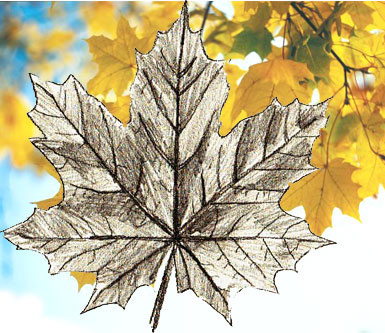 385x333 How To Draw Maple Leaves