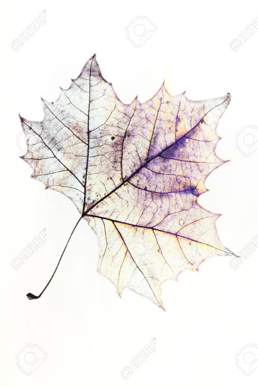 866x1300 Photo Of The Drawing Of A Transparent Maple Leaf In False Color