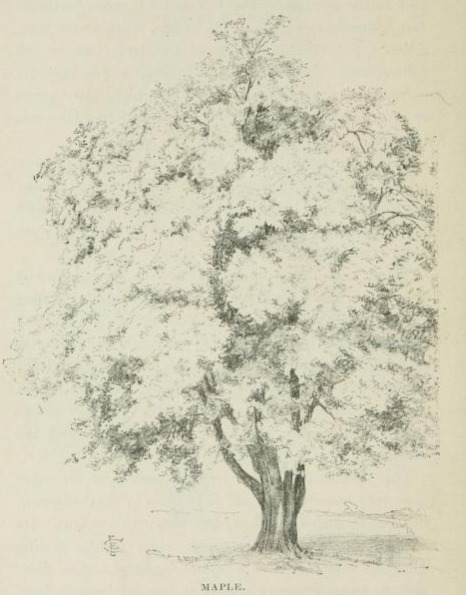 466x595 Maple Tree Drawing. Pen Drawing From Frontispiece
