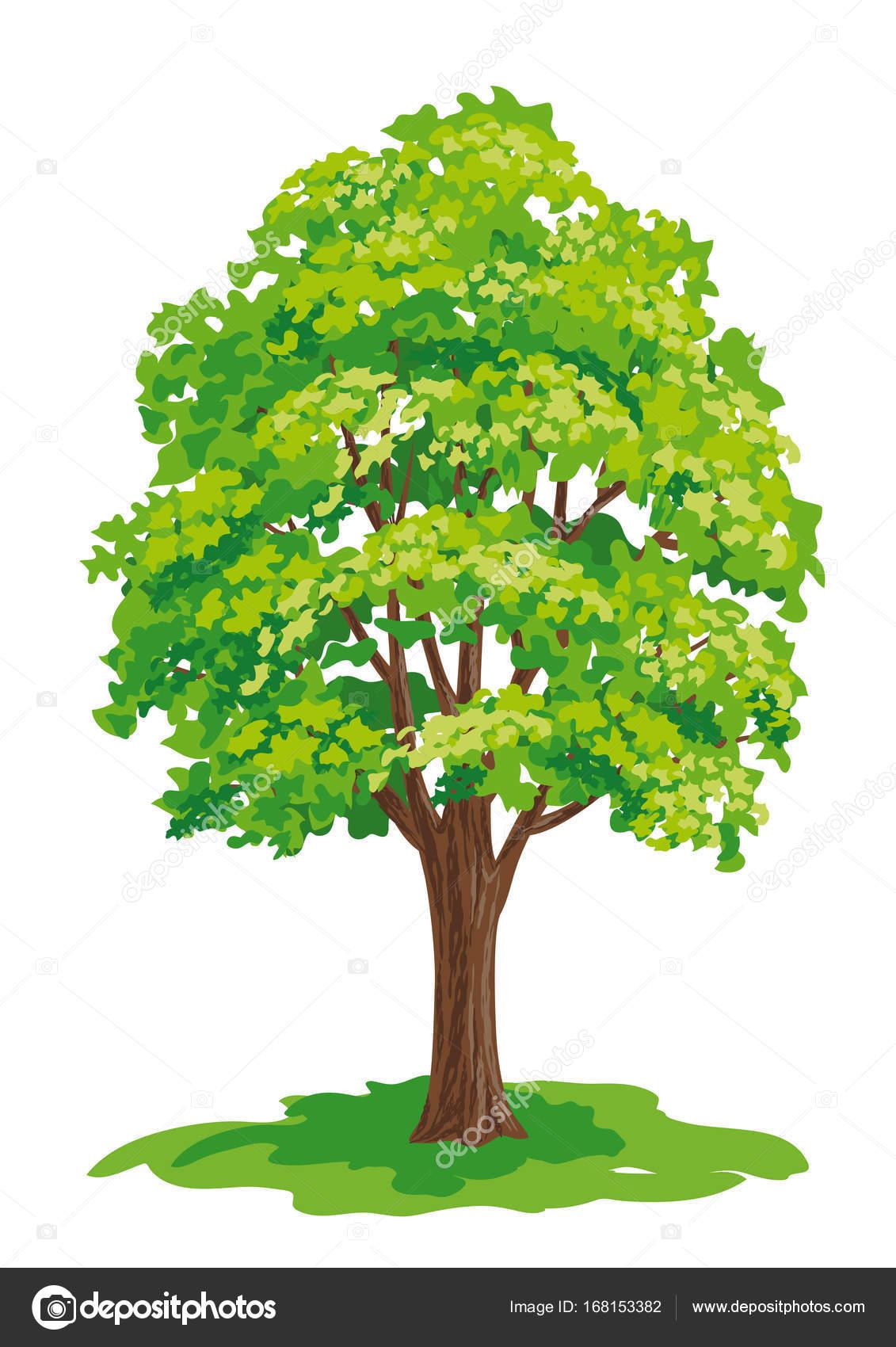 1131x1700 Vector Drawing Of Maple Tree Stock Vector Rosinka