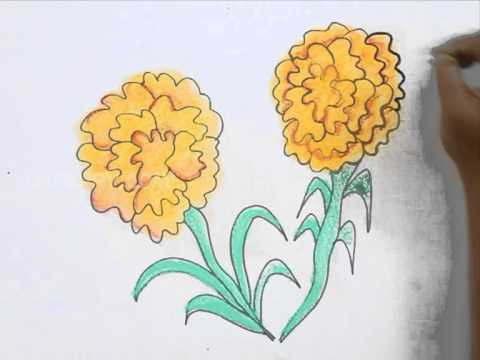 480x360 How To Draw Marigold
