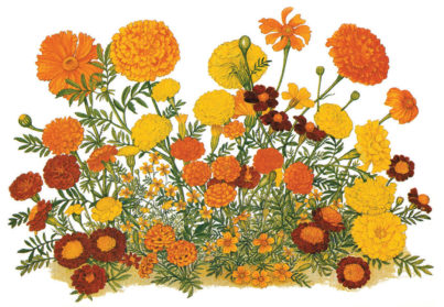 403x279 Marigold Best Drawing Flowers Flower Drawing