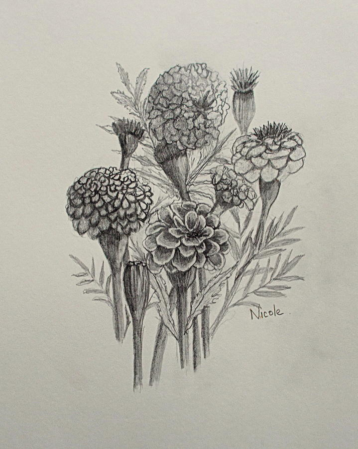 719x900 Marigold Sketch Drawing By Nicole Curreri