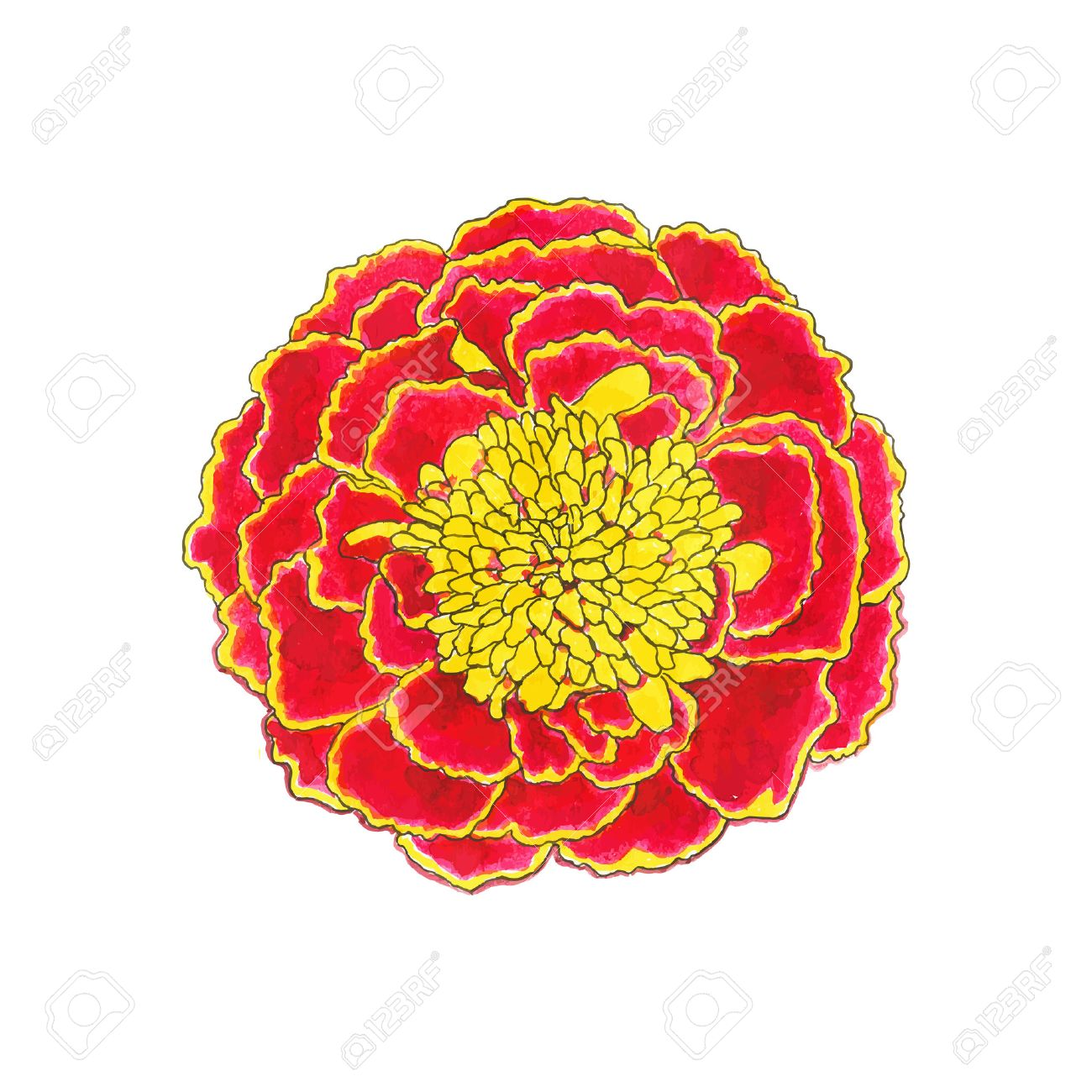 1300x1300 Marigold. Hand Drawn Flower. Real Watercolor Drawing. Vector