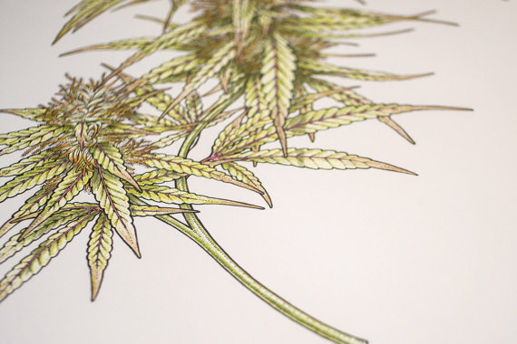 570x380 Cannabis Flower Botanical Illustration Scientific Drawing
