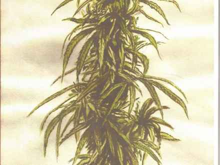 440x330 Drawing Marijuana Weed Plant, Pot Plant Drawing