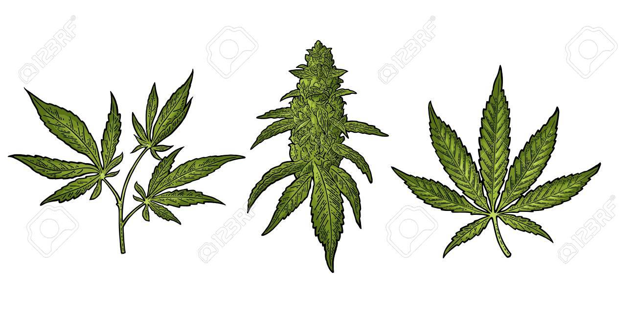 1300x641 Marijuana Mature Plant With Leaves And Buds Cannabis. Hand Drawn