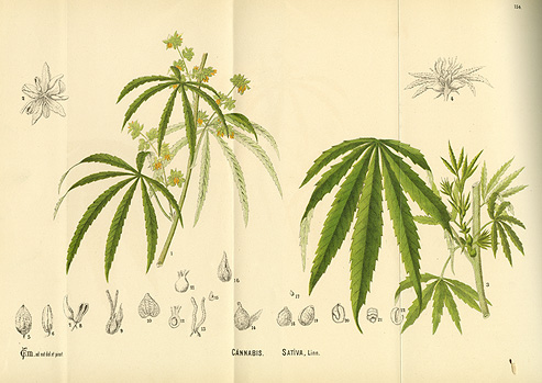 493x349 Scientific Drawing Of The Plant Cannabis Sativa (Marijuana