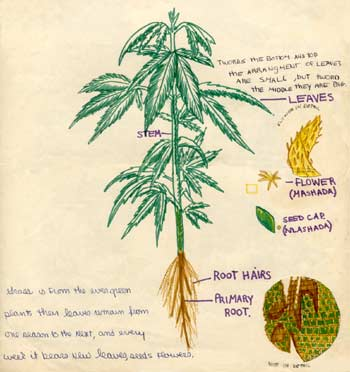 350x372 Marijuana Plant Drawing