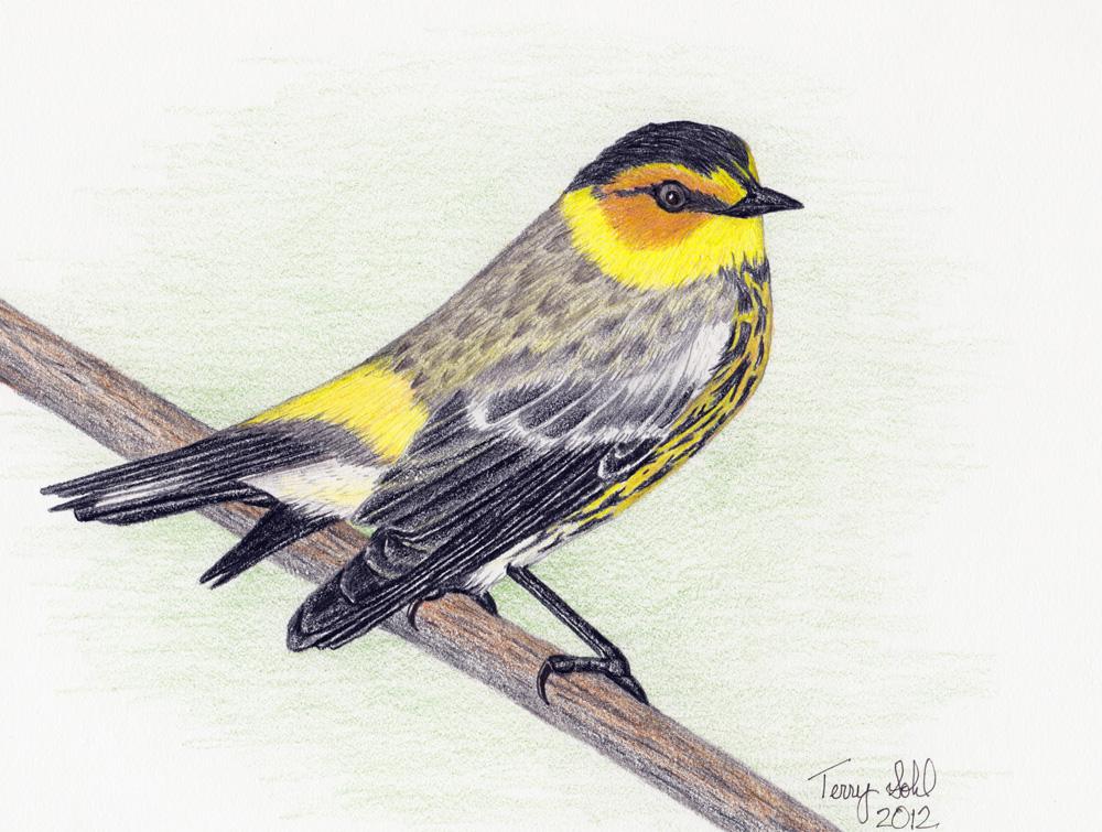 1000x755 May Warbler