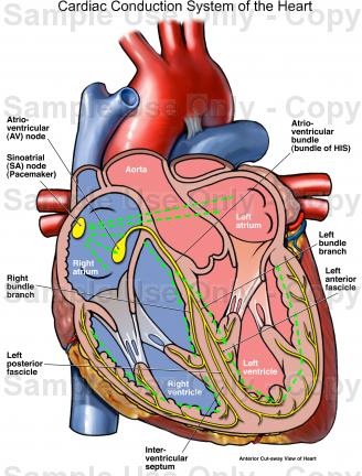 328x432 Cardiac Conduction System Of The Heart