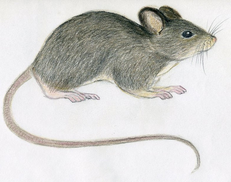 784x620 How To Draw A Mouse