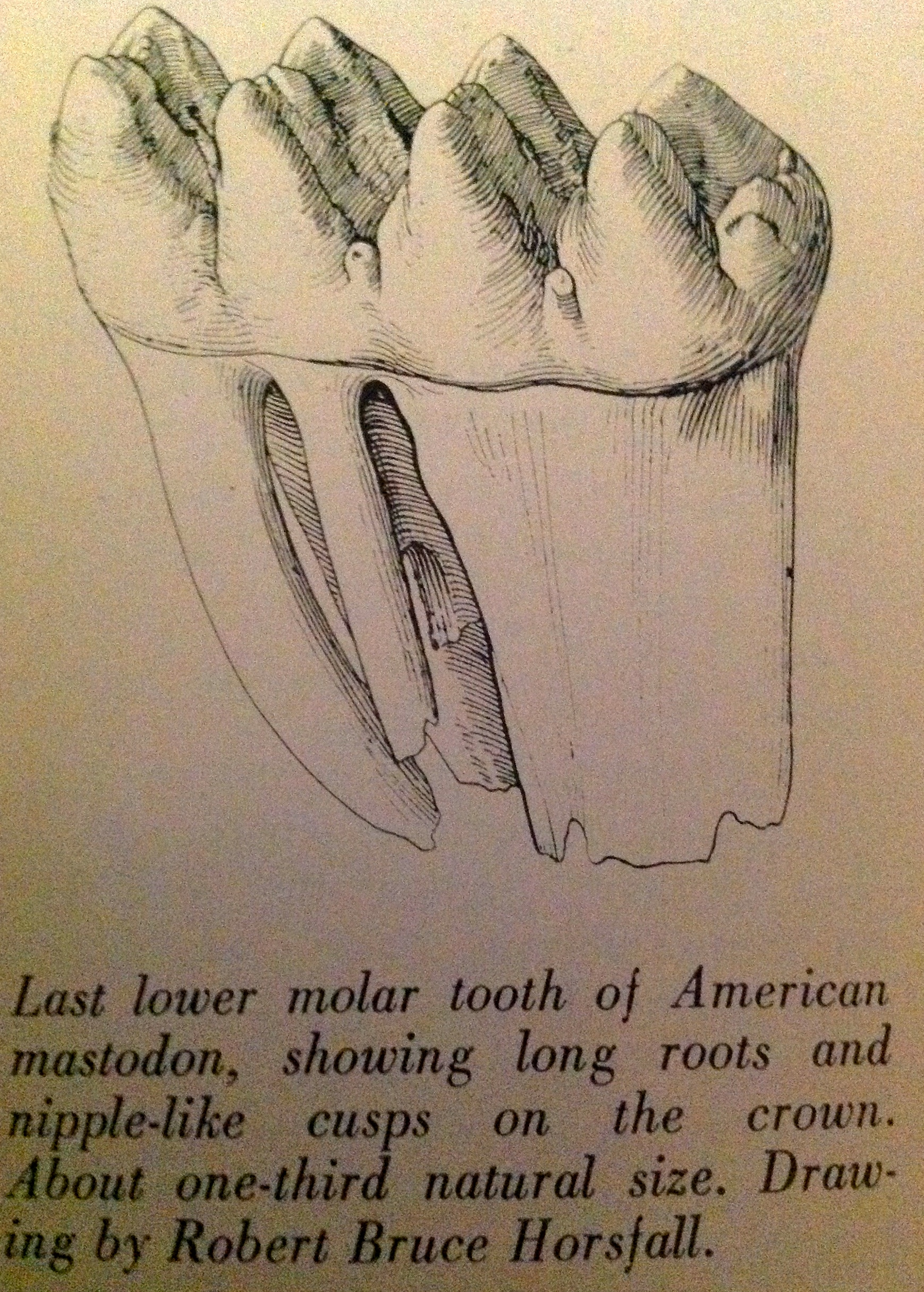 1739x2431 Drawing Of A Mastodon Tooth New Jersey History Digital Archive