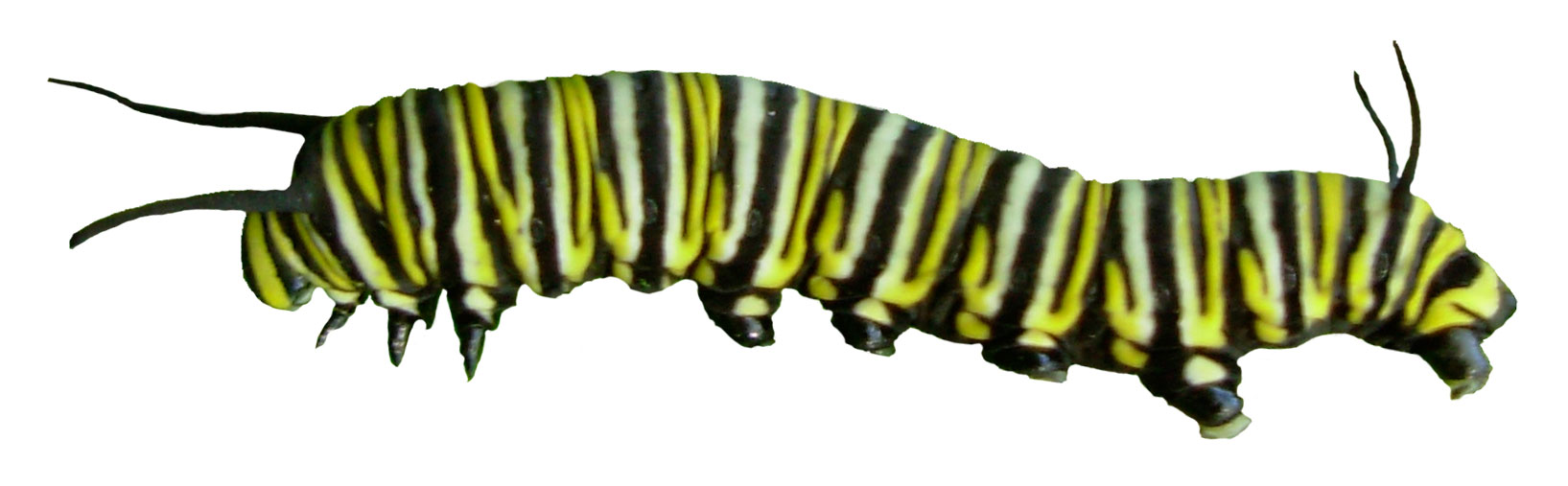 monarch caterpillar drawing at getdrawings com free for personal