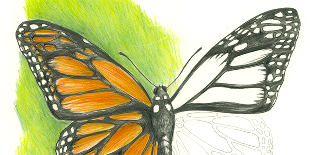 640x320 Draw A Monarch Ology, Science For Kids
