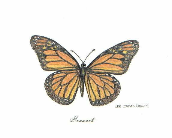 573x460 Monarch Butterfly Monarch Butterfly, Pen Amp Ink Drawing By Lee