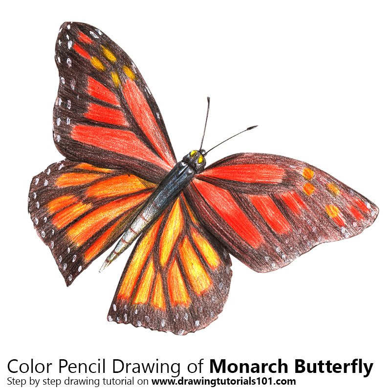 800x800 Monarch Butterfly Colored Pencils