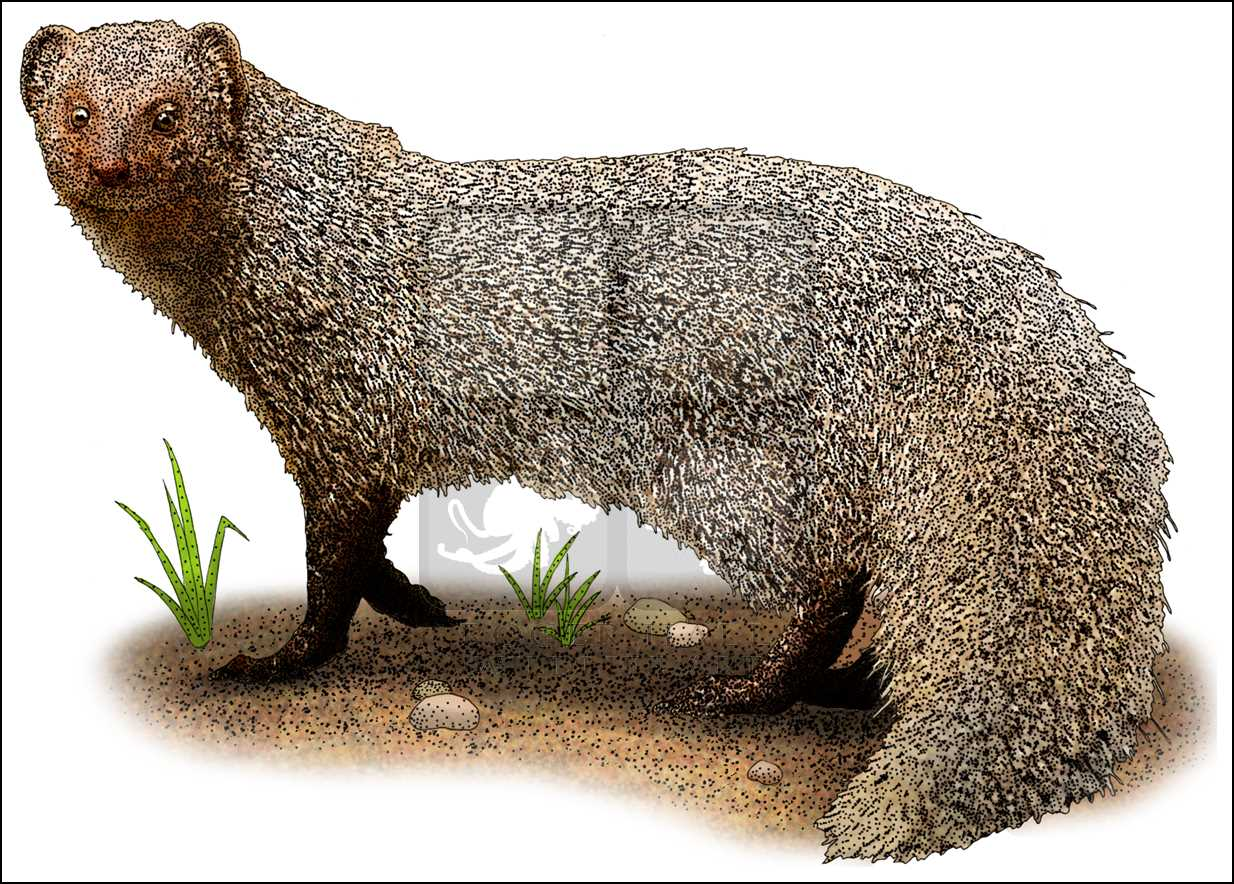 1234x884 Indian Or Common Gray Mongoose (Herpestes Edwardsii) Line Art