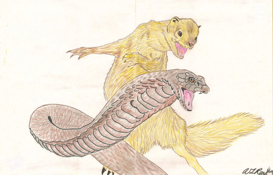 900x578 Mongoose And Cobra Fight By Drawerfun