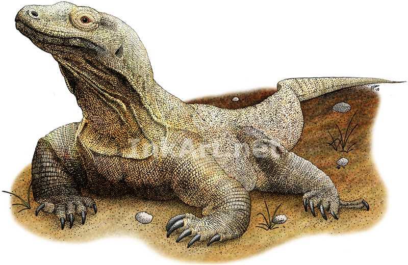 800x520 Komodo Dragon (Varanus Komodoensis) Stock Art Illustration