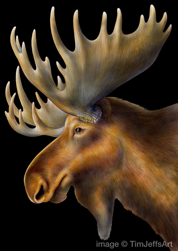 570x804 Moose Colored Pencil Drawing