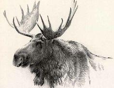 236x183 Moose Drawing