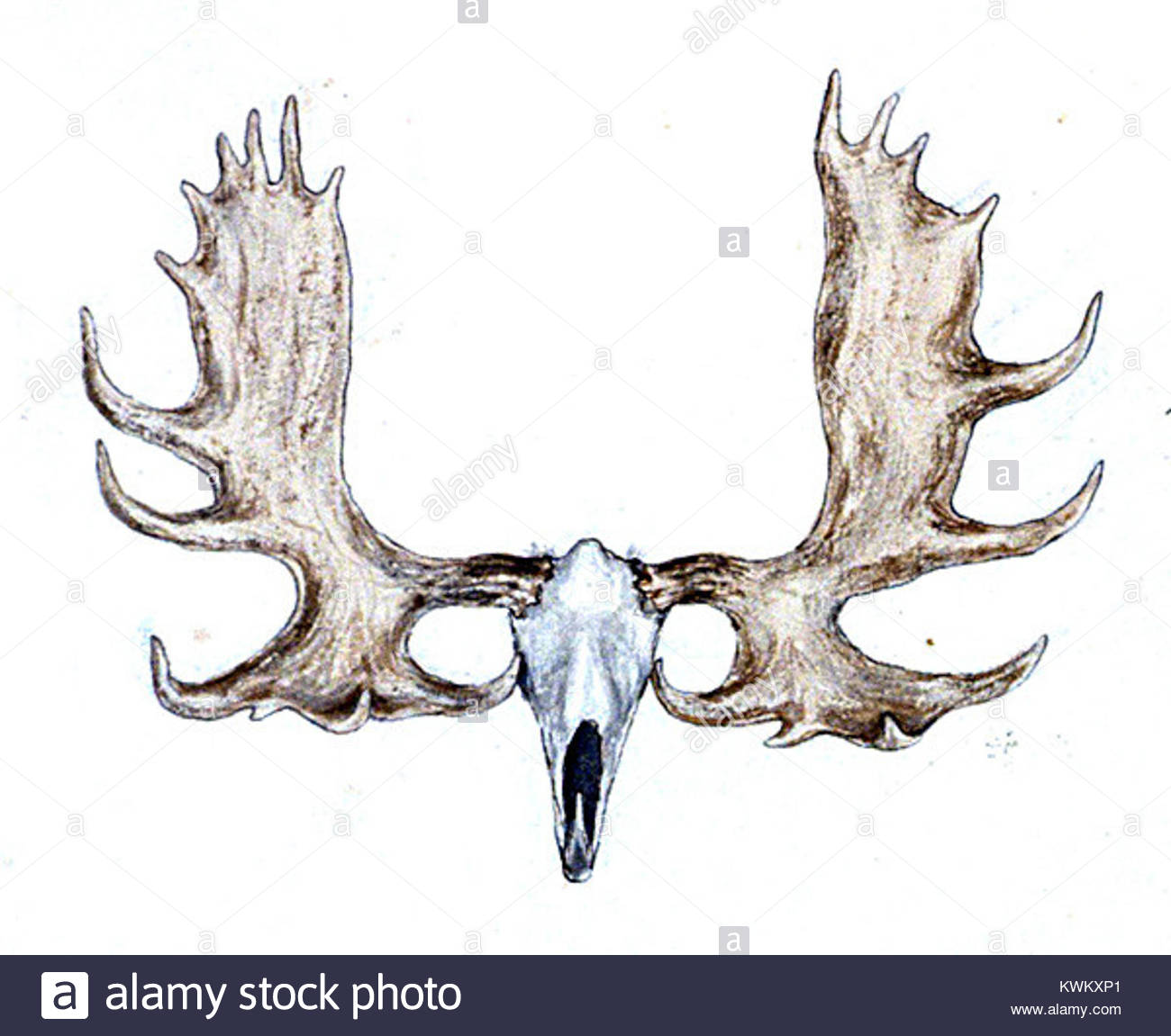 Moose Skull Drawing At Getdrawings Free For Personal Use Moose