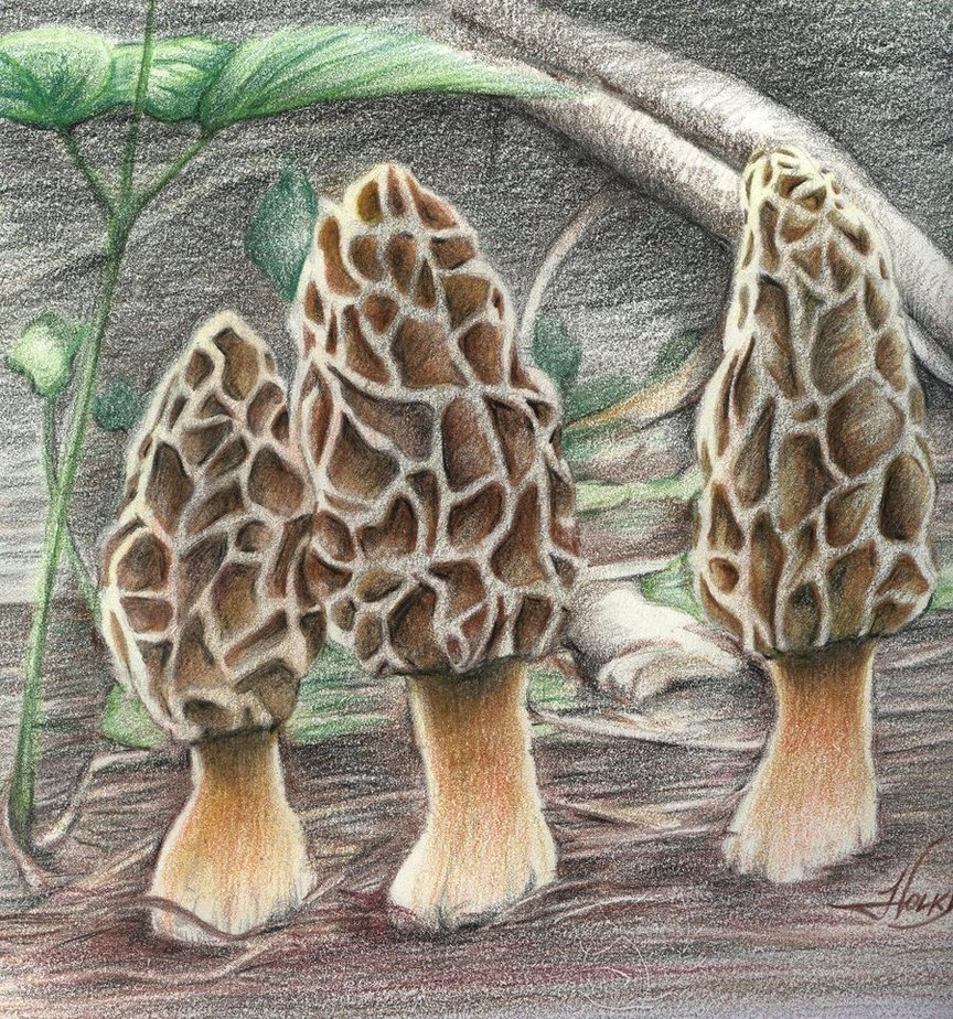 864x924 Morel Mushrooms By Westernman