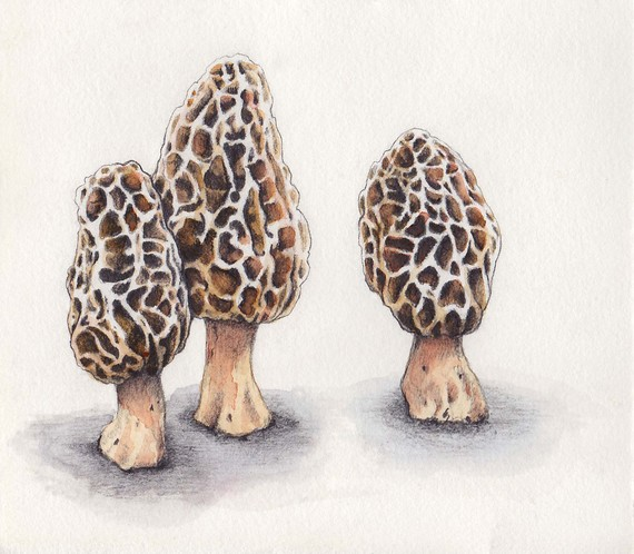 570x498 Morel Mushrooms Mushrooms, Watercolor And Paintings