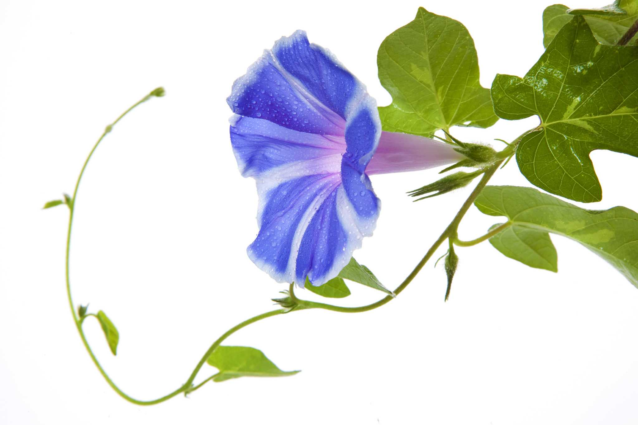 Morning Glories Drawing At Getdrawings Free For Personal Use