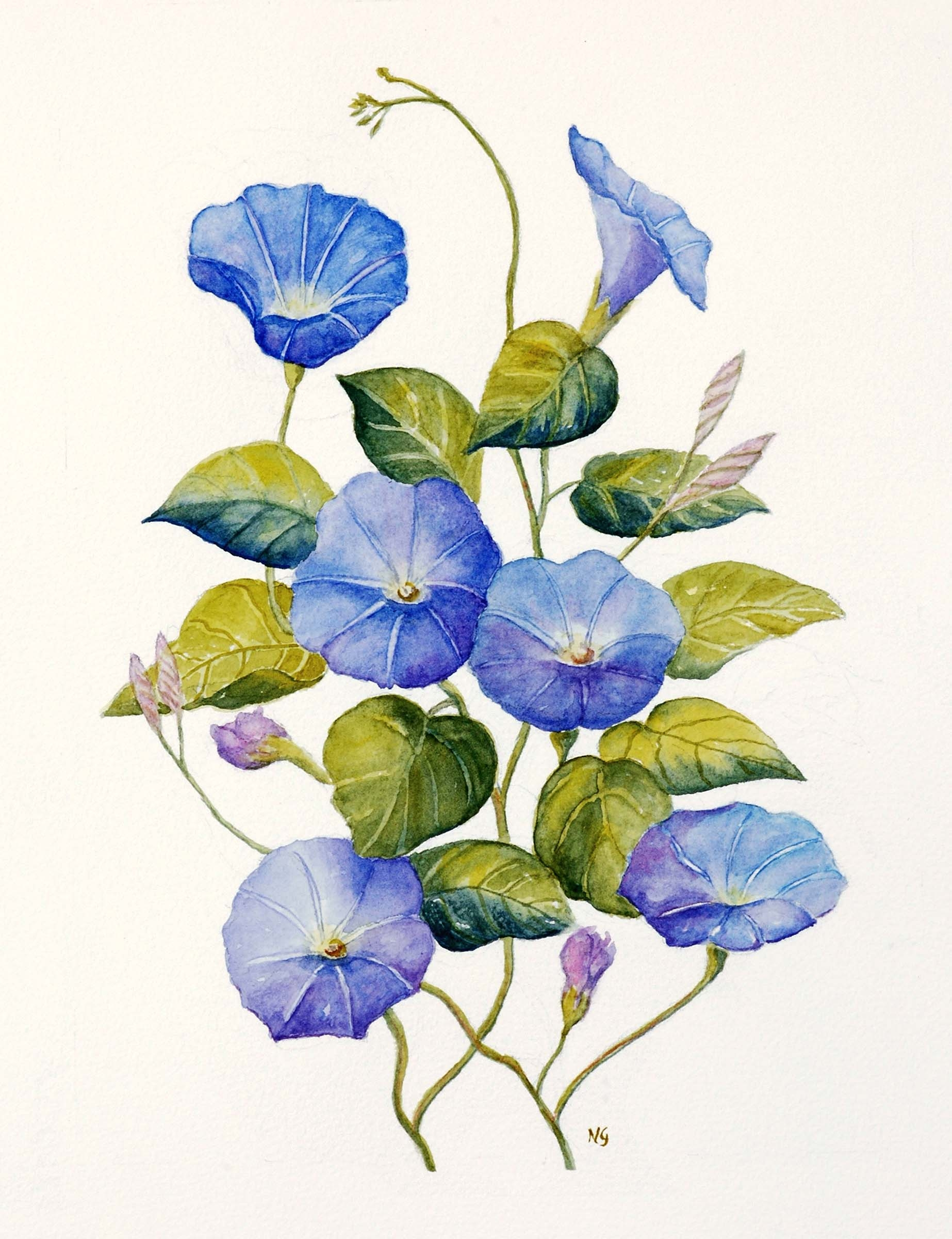 1846x2400 Morning Glory Flower Drawing Morning Glory Tattoo Watercolor