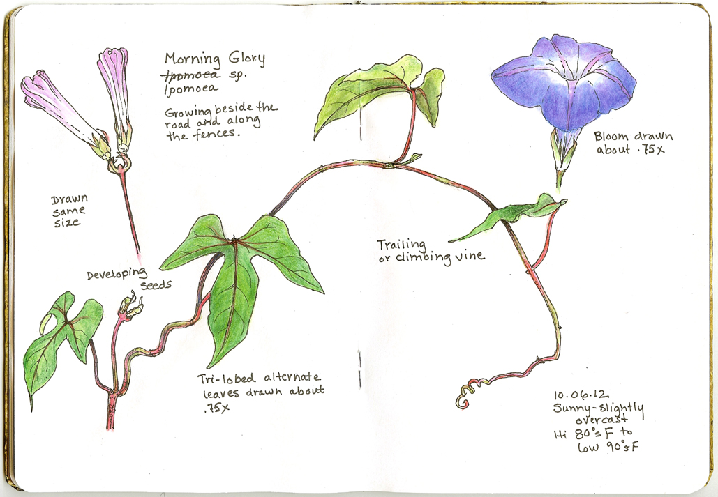 1029x713 A Nature Art Journal In Southwest Florida Morning Glory