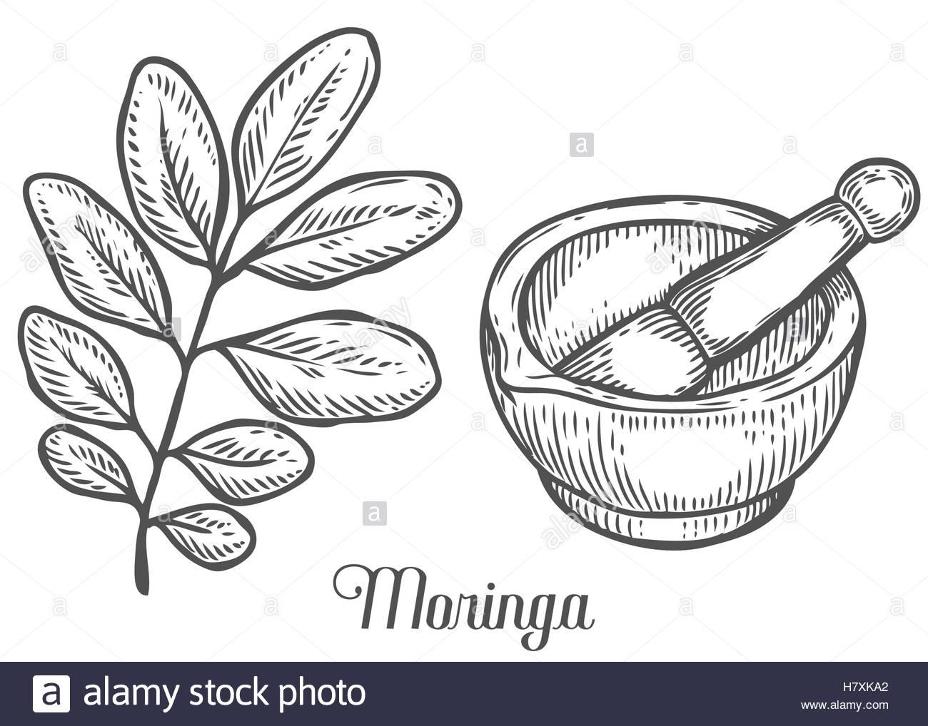 1300x1018 Moringa Plant, Leaf With Mortar And Pestle. Moringa Vintage Sketch