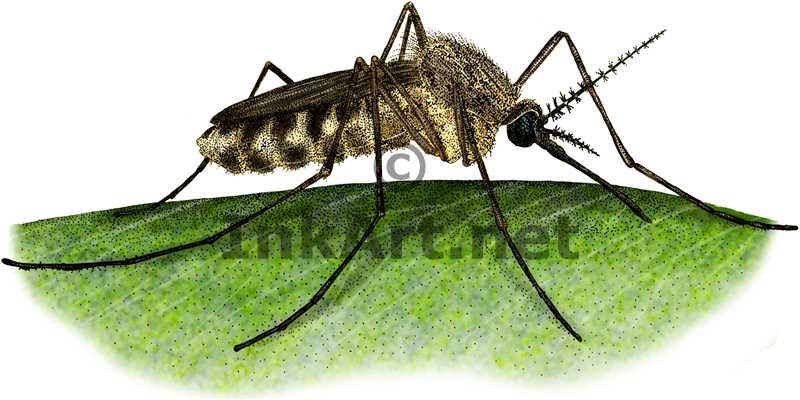 800x400 Common House Mosquito Stock Art Illustration