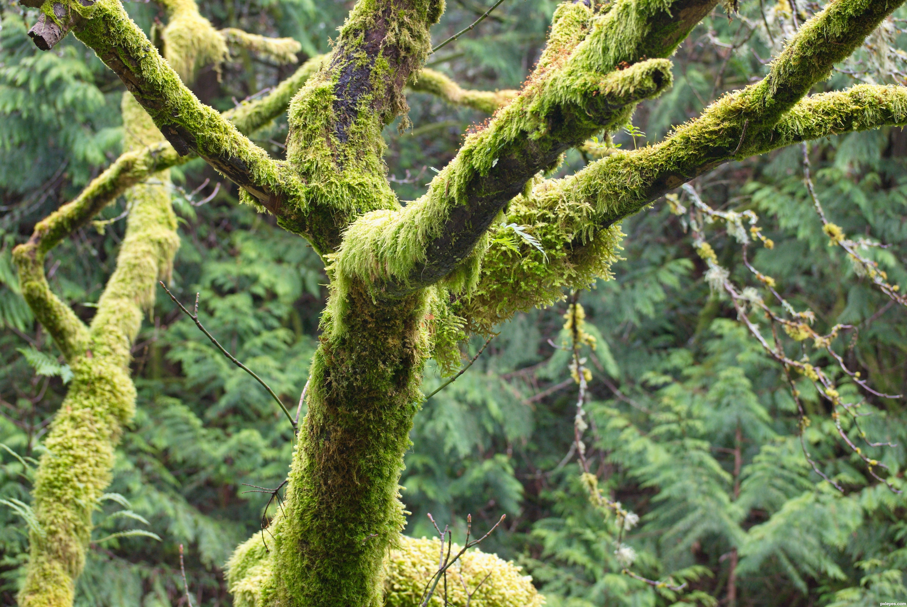 3797x2542 Tree Moss Picture, By Besea For Weeds 2 Photography Contest